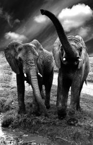 """""""The Last Elephant  (C) Celine Jurgelevisius"""