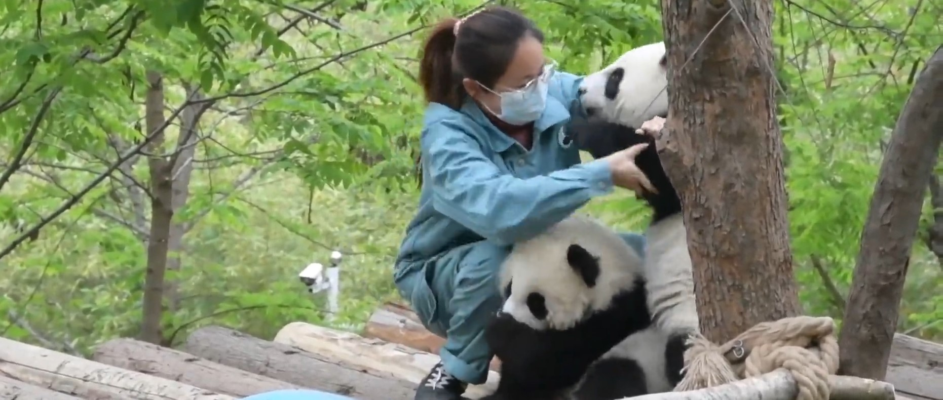 Immersed in Cuteness: A day in the life of a panda breeder
