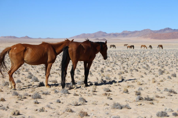 Namibian wild horses' population recovering: minister